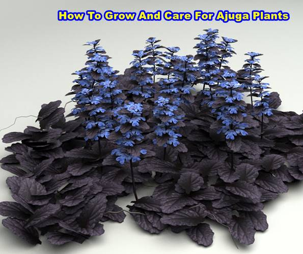 Ajuga Plants