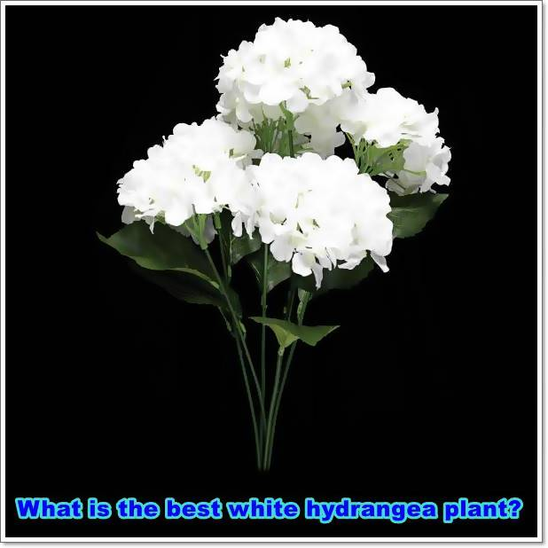 What is the best white hydrangea plant