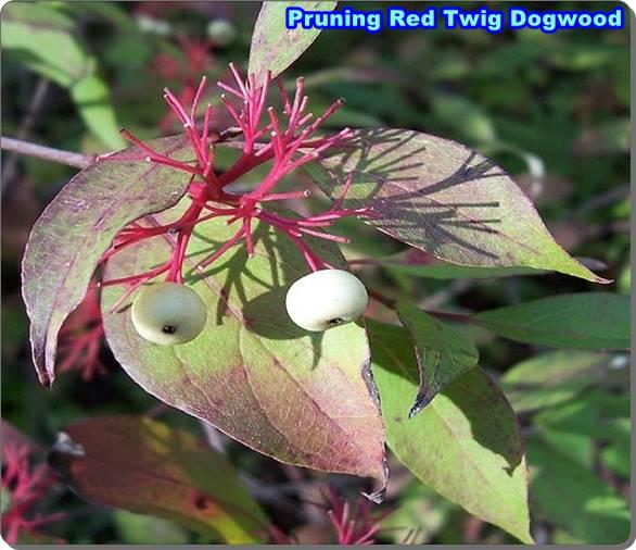 Pruning Red Twig Dogwood